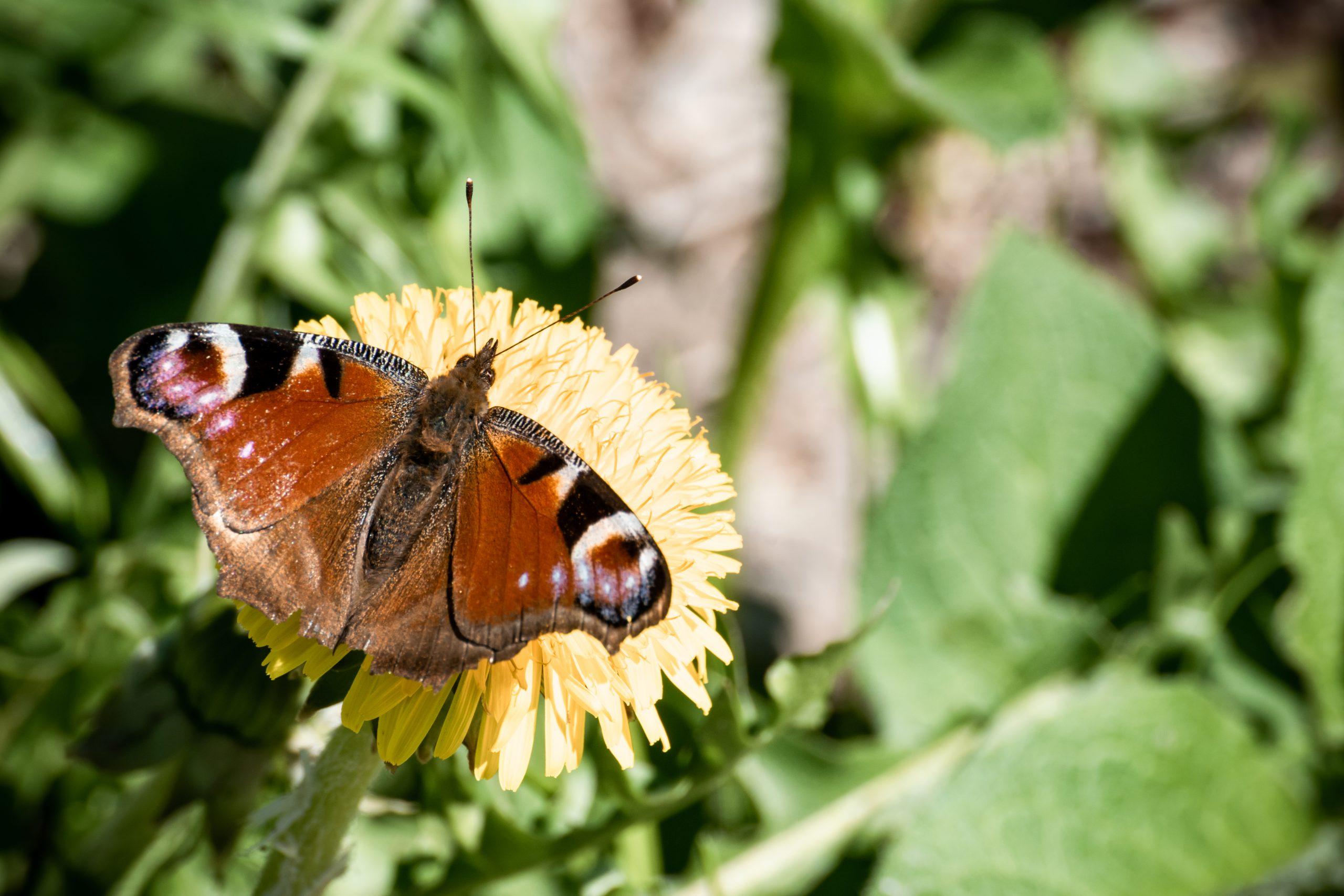 Schmetterling in der Natur