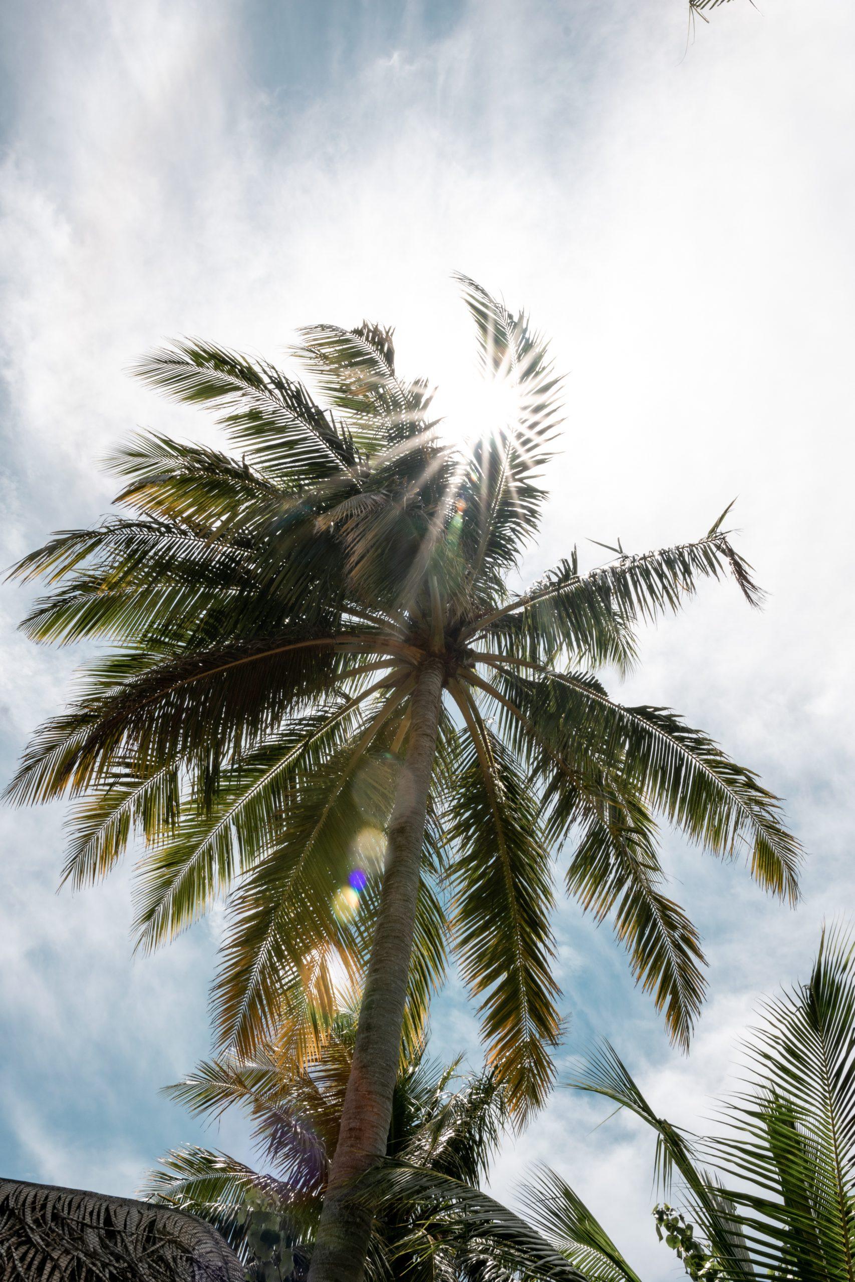 Palme Malediven