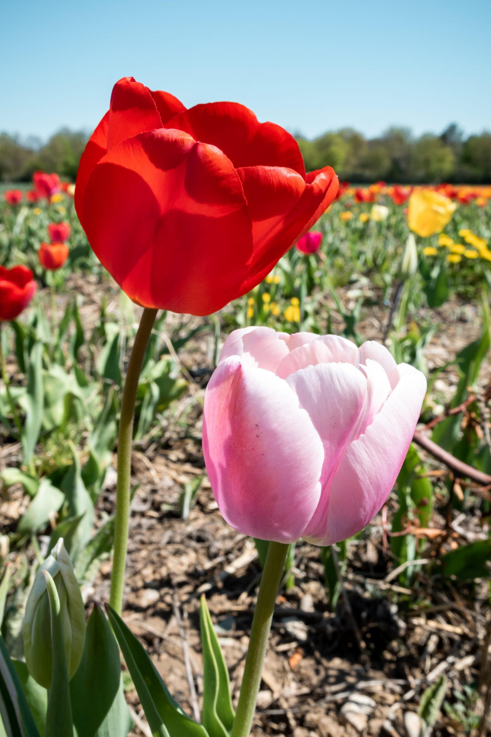 Tulpen im Sommer
